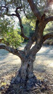 Les ingrédients du savon d'Alep: l'huile d'olive - Savon-Alep.Shop