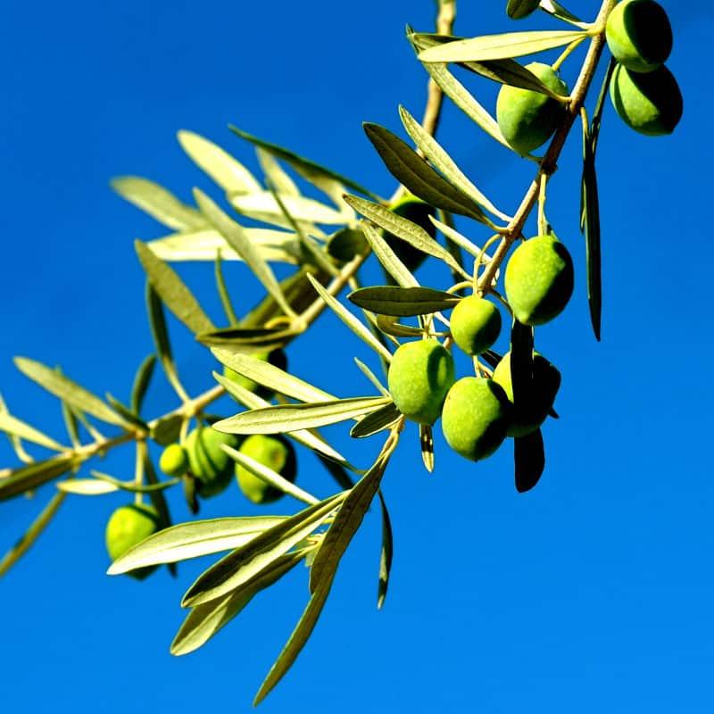 Savon 100% olive liquide. Sans colorant ni parfum. Tous types de peau. Bouteille de 1l vendue 16,90 € sur Savon-Alep.Shop.